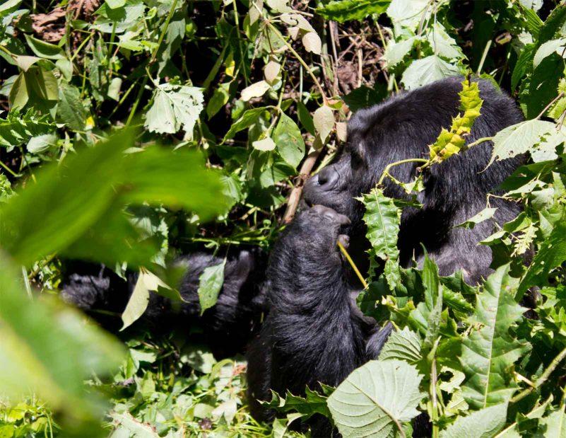 Michelle Uganda Gorilla Trekking