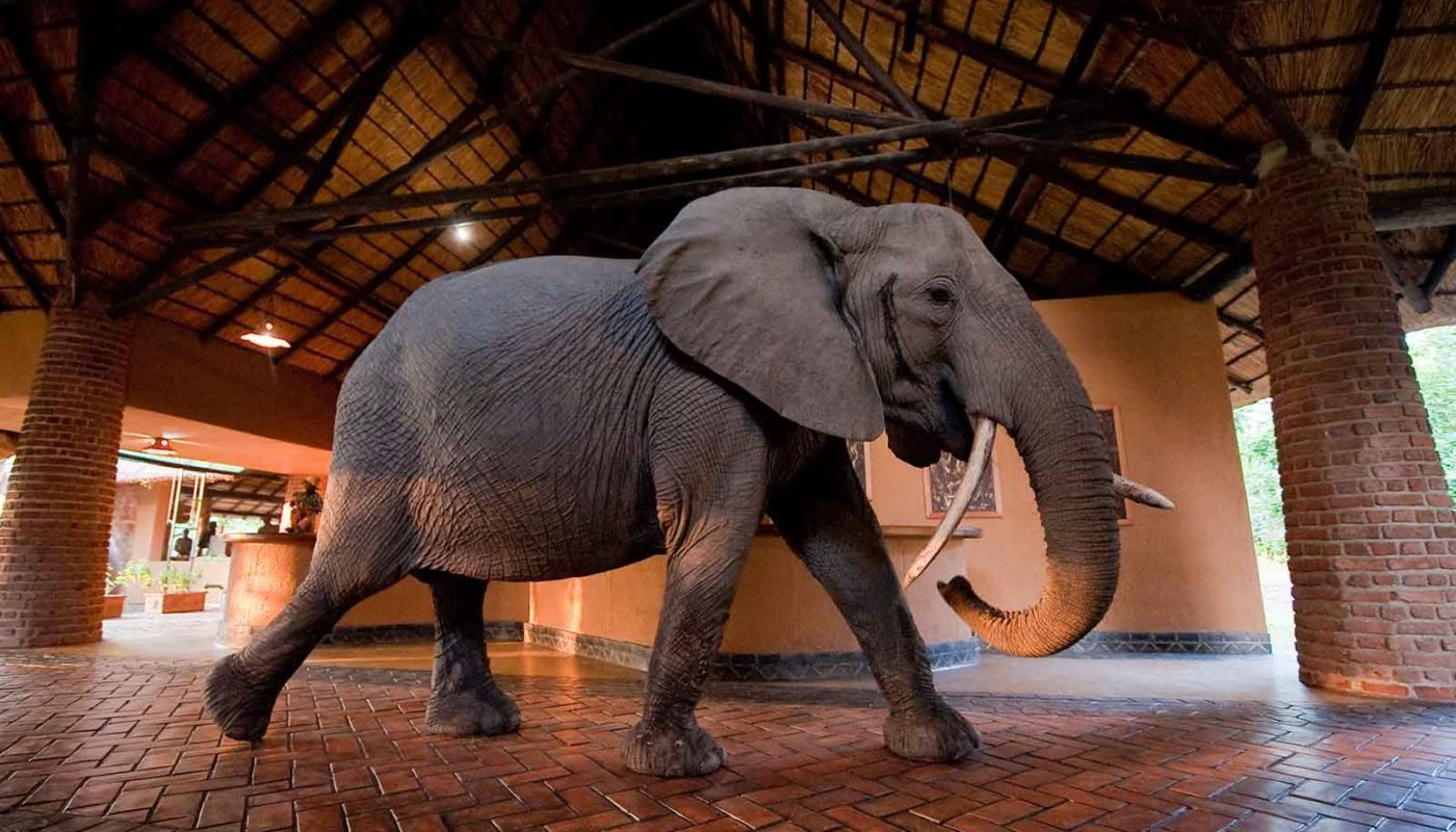 Mfuwe Elephants